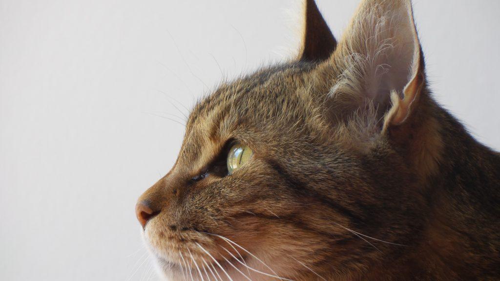 Diferenciar marcaje en gatos de eliminación inadecuada